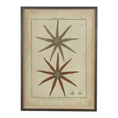 Antique Starfish Study ,  , large