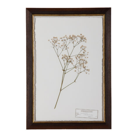 Gypsophila ,  , large