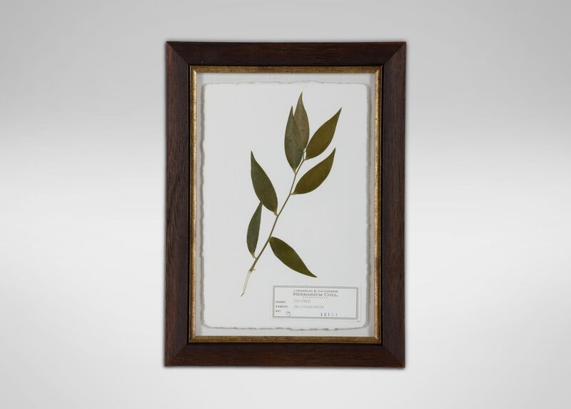 Ruscus ,  , large_gray