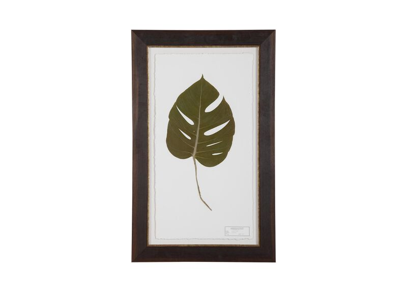 Monstera ,  , large_gray