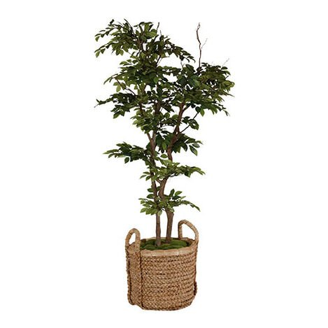 Sakaki Tree ,  , large