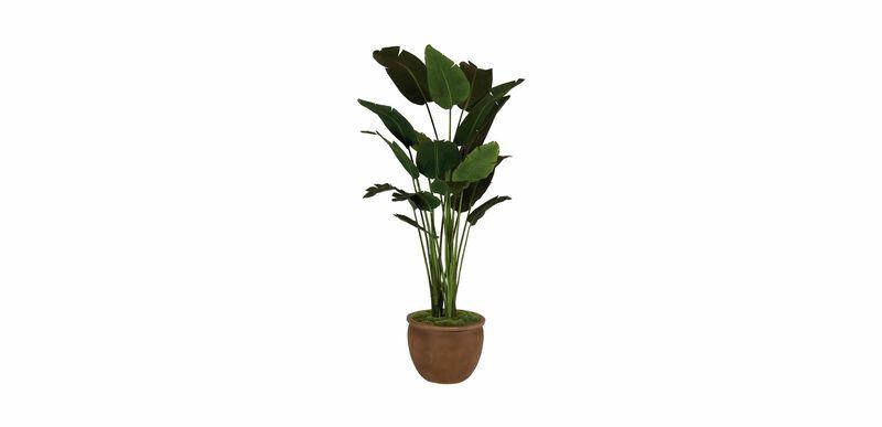 Traveler's Palm Tree