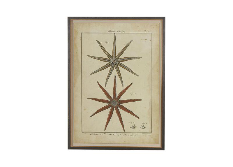 Antique Starfish Study