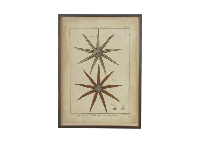 Antique Starfish Study ,  , large_gray