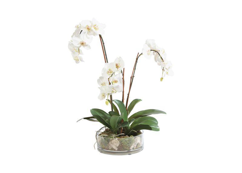 Triple Phalaenopsis in Glass