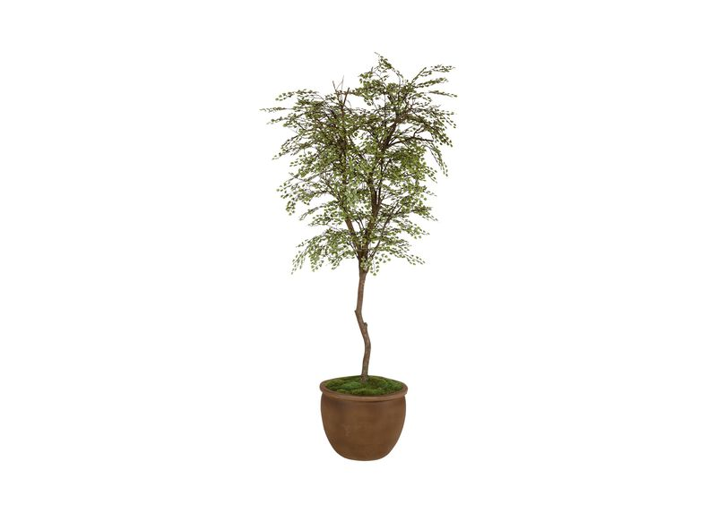 Maidenhair Tree ,  , large_gray