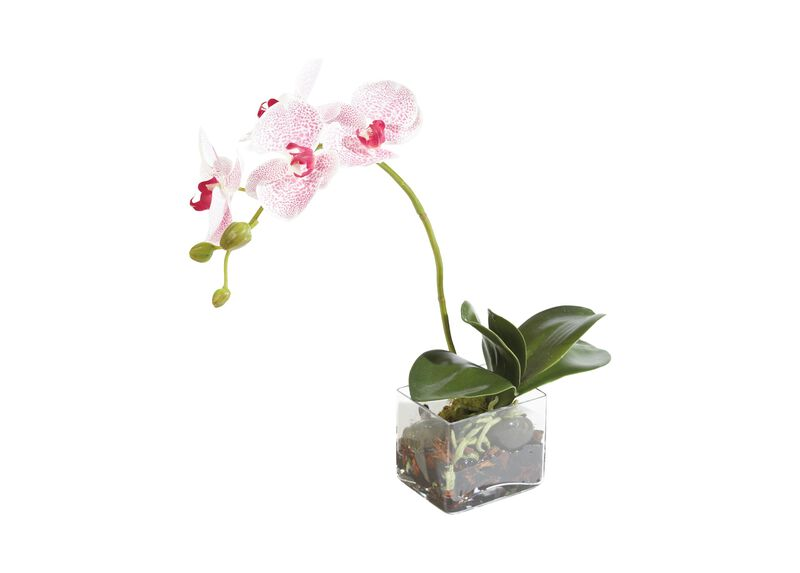 Petite Spotted Phalaenopsis ,  , large_gray