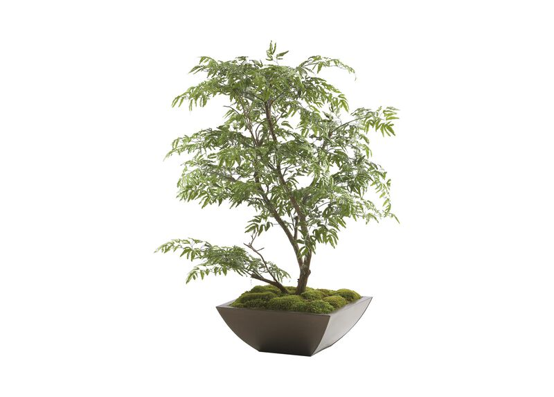 Ming Aralia Tabletop Tree