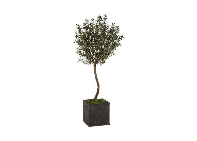 Black Olive Tree ,  , large_gray