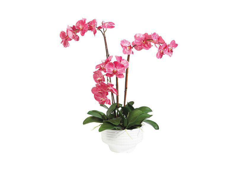 Fuchsia Orchids in Ceramic Pot