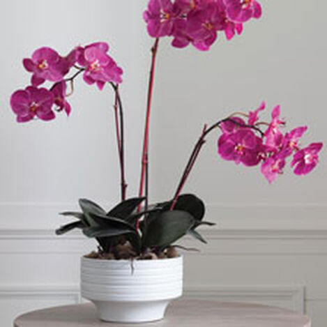 Fuchsia Orchids in Ceramic Pot ,  , hover_image