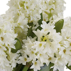 White Hyacinth Watergarden