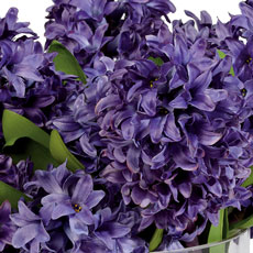 Purple Hyacinth Watergarden